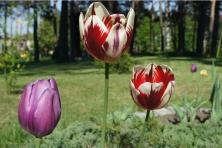 Otoczenie świątyni – krokusy i tulipany (galeria)